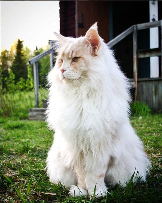 Дружелюбный кот громадных размеров. Instagram lotus_the_mainecoon.