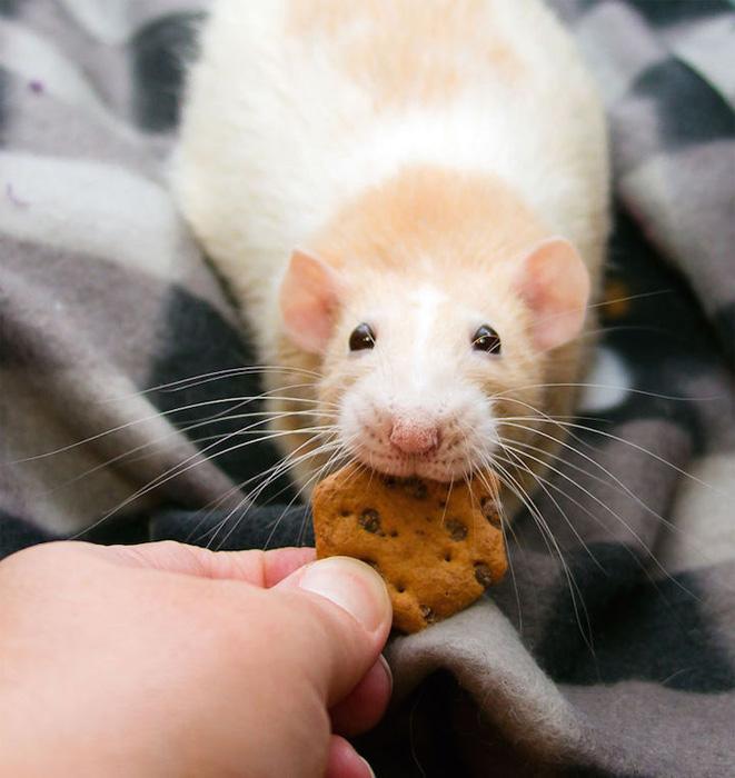 Марти-Маус, домашняя крыска.