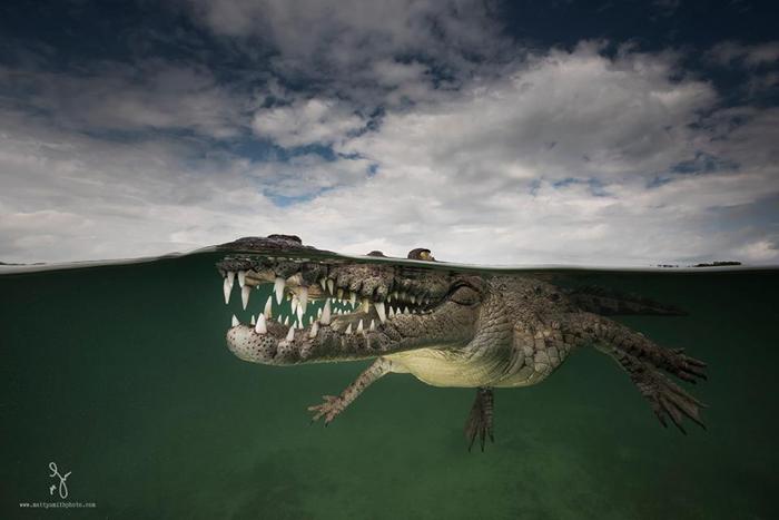 Улыбающийся ассасин - американский крокодил в объективе британского фотографа Мэтью Смита.