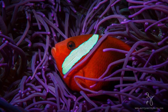 Рыба-клоун. Фото: Matthew Smith.