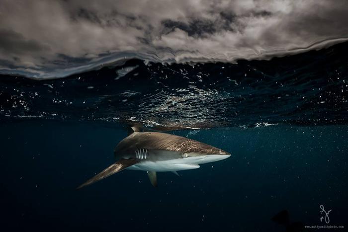 Шелковая акула.  Фото: Matthew Smith.