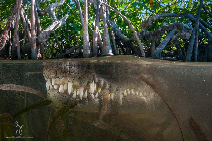 Американский крокодил длиною в два с половиной метра. Фото: Matthew Smith.