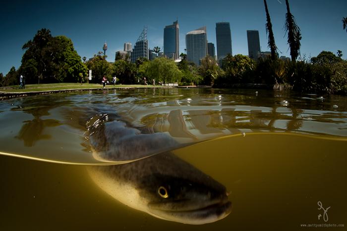 Новозеландский угорь. Ботанический сад в Сиднее. Фото: Matthew Smith.