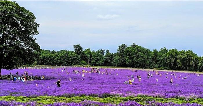 Большое количество туристов на полях лаванды.