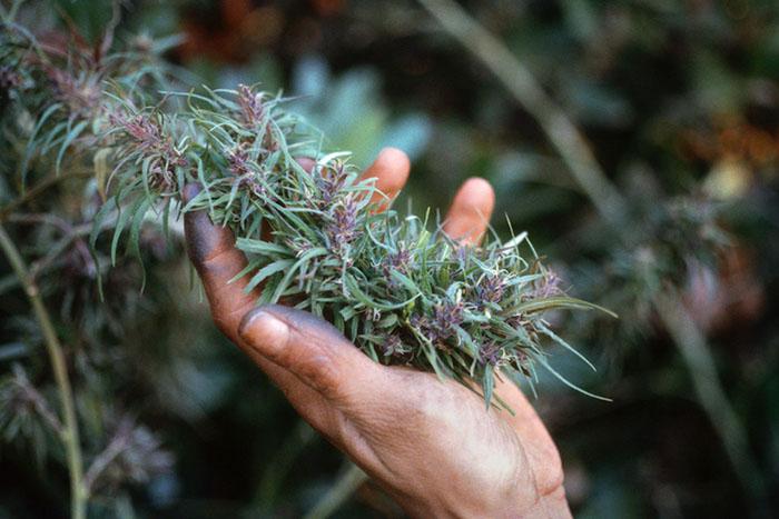 Рука, испачканная в смоле марихуаны. 1978 год.