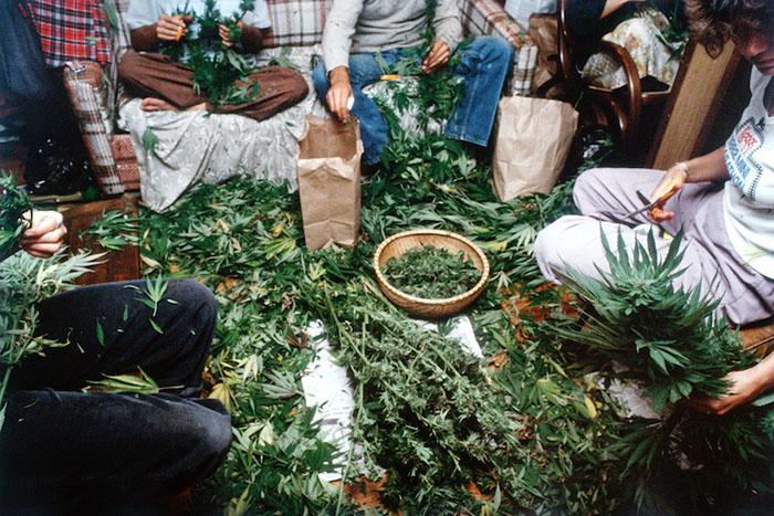 Процесс обрезания цветов с соцветий. 1982 год.