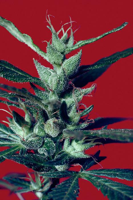 Оригинальный сорт из Колумбии. Растение, выращенное из семян, 1979 год.