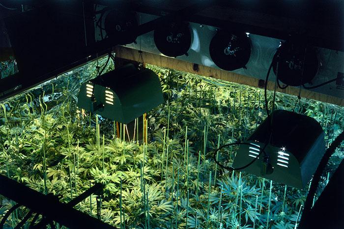 Выращивание каннабиса с дополнительной подсветкой. 1979 год.