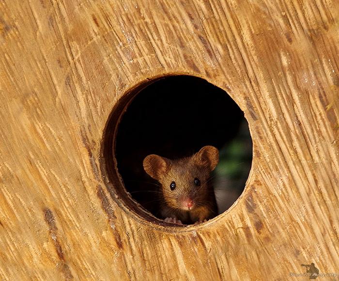 Мышка в саду Саймона.