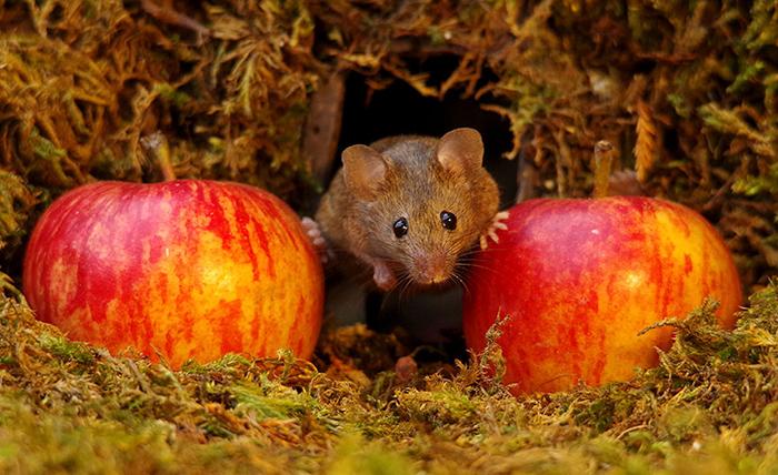 Сейчас в поленнице живет больше пяти мышек.