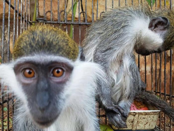 Сейчас обезьянки переселились в просторный вольер.