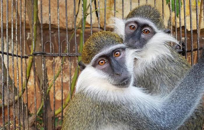Две влюбленные обезьянки вместе пережили заточение.