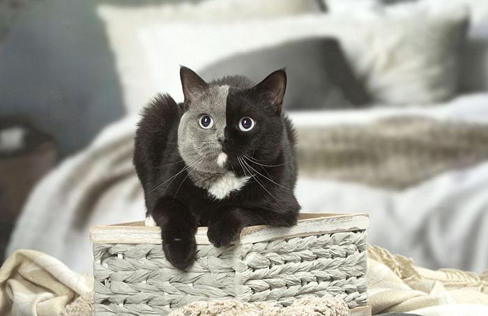 Нарния появилась в процессе выведение кошек британской породы с голубыми глазами.