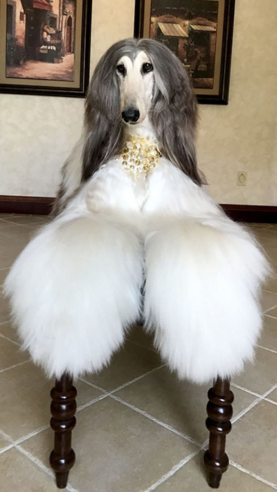 Хозяина собаки не смущает, что поддерживание привлекательной внешности питомца стоит немалых денег.
