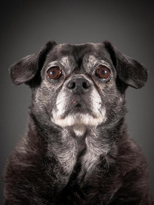 Визи. Фотопроект Old Faithful с портретами старых псов.