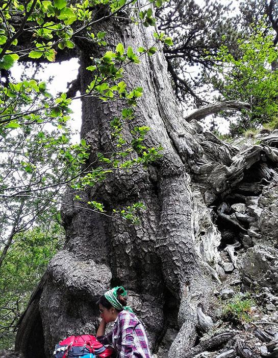Дерево, которому более тысячи лет.