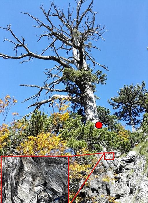 Измерить возраст дерева по стволу не удалось, поэтому пришлось измерять через корень сосны.