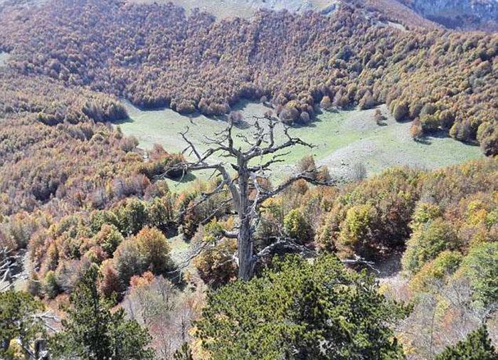 Самое старое дерево в Европе назвали Италусом.