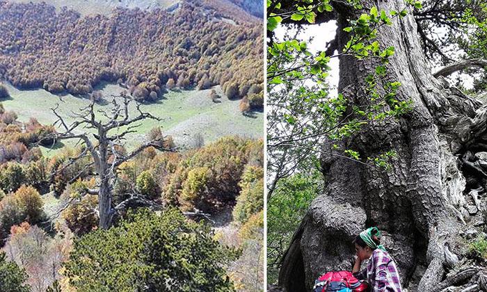 Самое старое дерево в Европе.