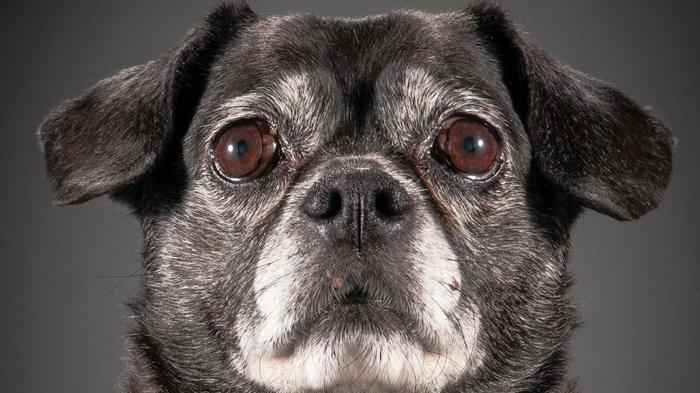 Фотопроект с портретами старых собак от канадского фотографа.