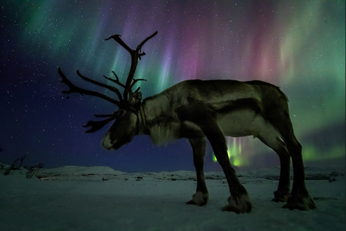 Северный олень. Фото Оле Саломонсена.