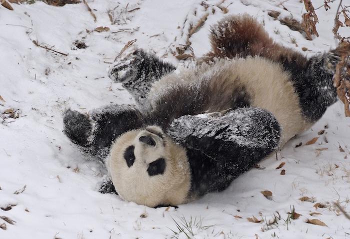 Панда. Национальный зоопарк Смитсониан.