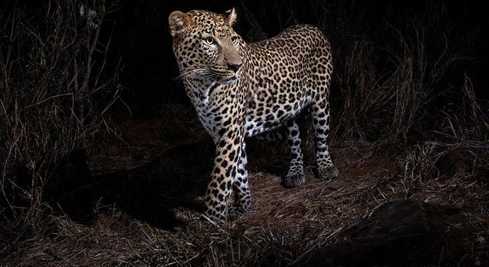Ночной снимок животного на камеру Уилла Буррарда-Лукаса.