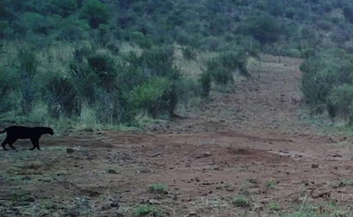 Фото черной пантеры в Кении издалека.