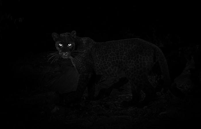 Черная пантера. Фото: Will Burrard-Lucas.