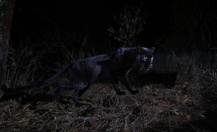Ночные съемки редкой пантеры. Фото: Will Burrard-Lucas.