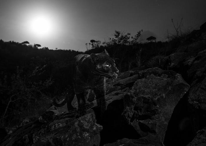 Первые снимки черной пантеры в Африке за 100 лет.
