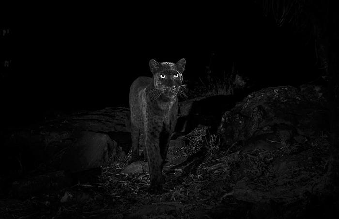 Снимки черной пантеры. Фото: Will Burrard-Lucas.