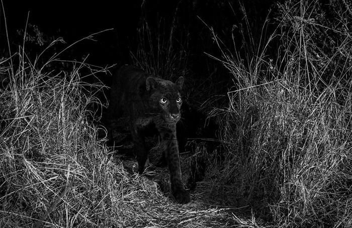 Пантера. Фото: Will Burrard-Lucas.