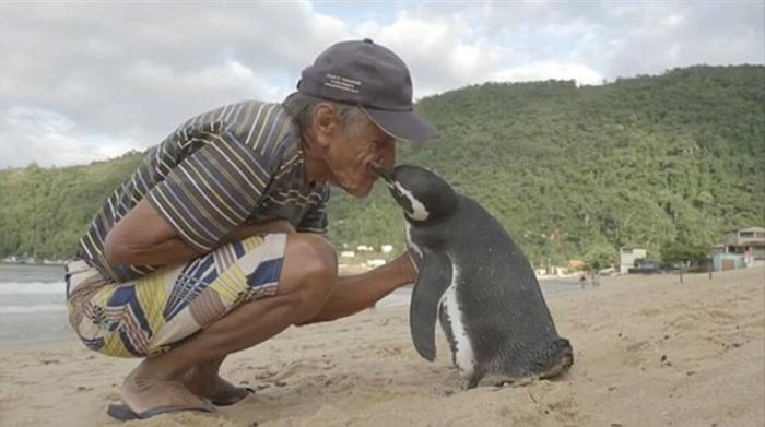 Специалисты думают, что пингвин считает Жоао частью своей стаи.