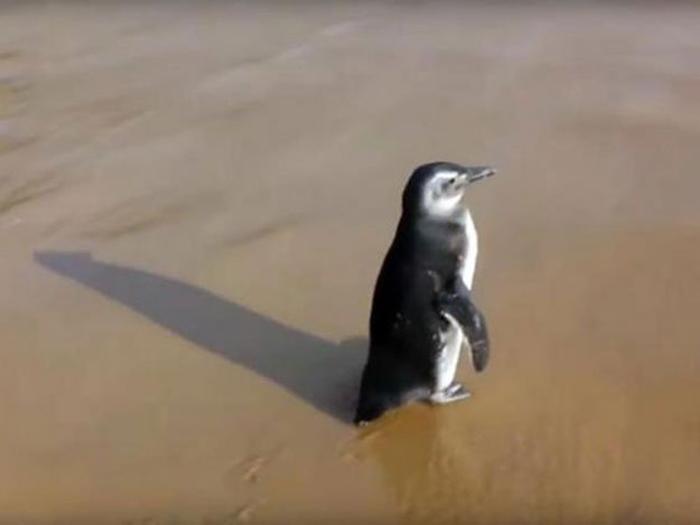Удивительный пингвин, который ведет себя не так, как остальные птицы.