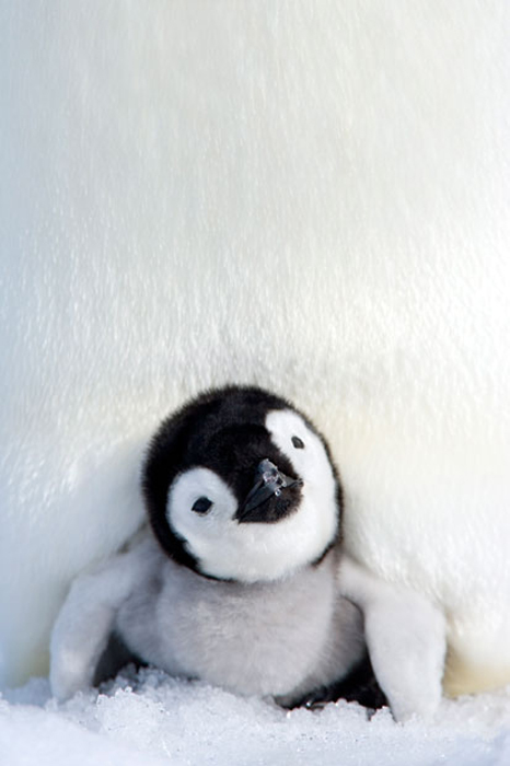 Маленький пингвин. Фото:  Thorsten Milse / Robert Harding.