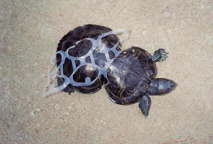 Черепаха с искаженным панцирем из-за пластикового мусора. Фото: Missouri Department of Conservation.