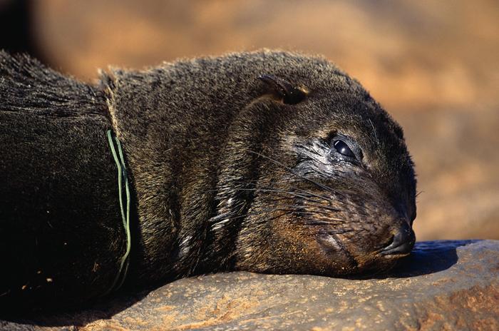 Морской котик, умерший от удушения пластиковой веревкой. Фото: Martin Harvey.