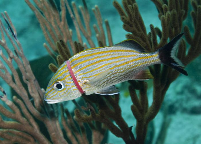 Рыбка, застрявшая в пластиковом кольце. Карибское море. Фото: Karen Doody.