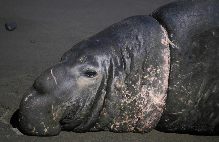 Морской слон в шрамах от пластика. Мексика. Фото: Kevin Schafer.