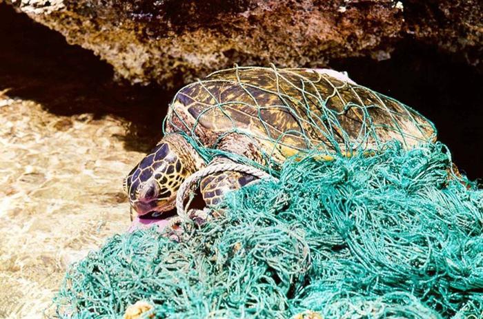 Морская черепаха, запутавшаяся в мусоре. Для животных, дышащих кислородом в воздухе, запутаться в мусоре под водой равнозначно смерти от нехватки воздуха. Фото: NOAA.