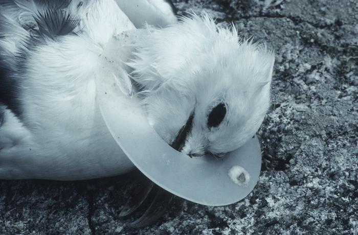 Птица, запутавшаяся в пластиковом мусоре. Фото: David Cayless.