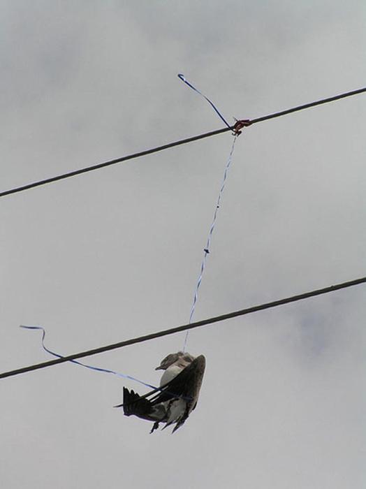 Птица, запутавшаяся в леске от воздушного шара. Фото: Pamela Denmon.