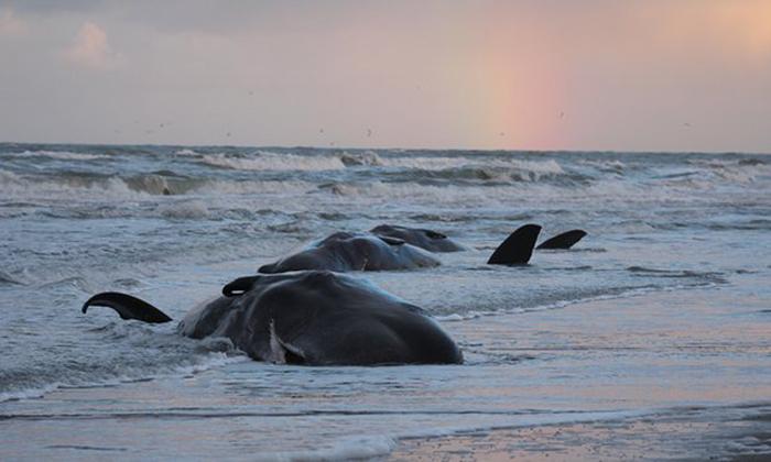 Более 30 китов было найдено мертвыми на берегах в 2016 году.