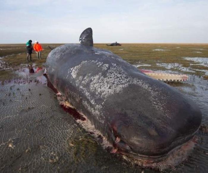 Мертвый кашалот, которого выбросило на берег.