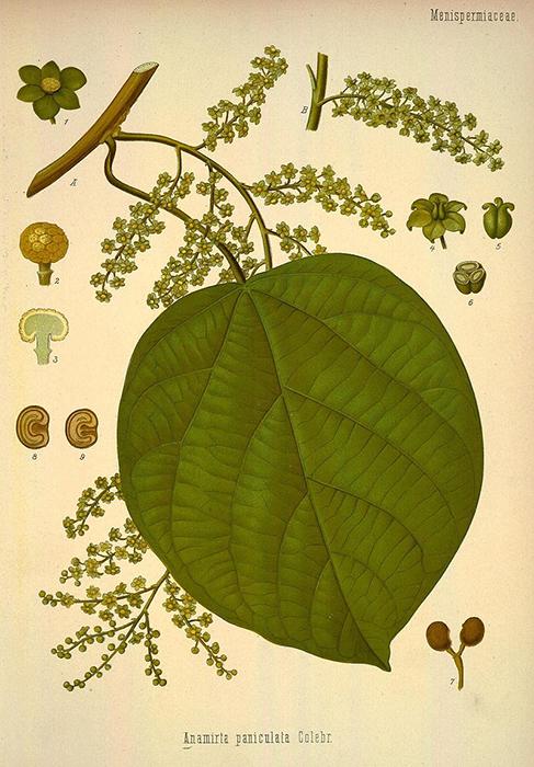 Анамирта коккулюсовидная.  Ботаническая иллюстрация из книги Köhler's Medizinal-Pflanzen, 1887.