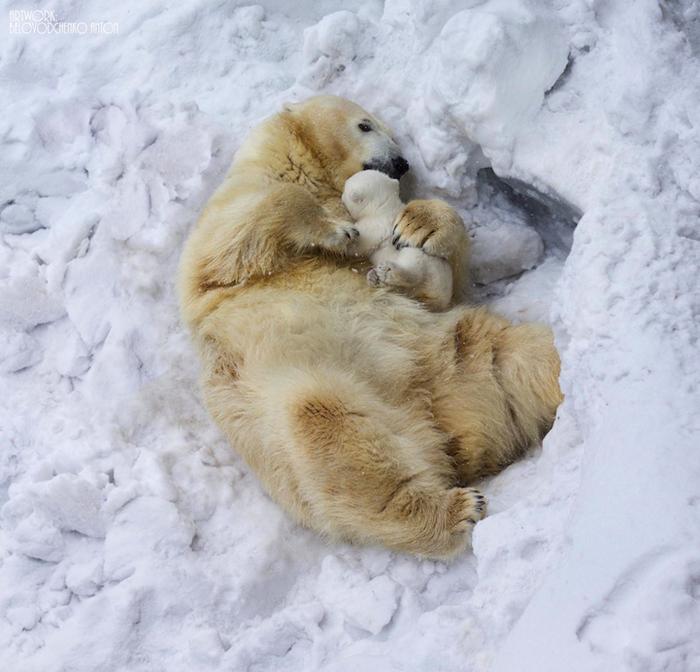 Полярный медведь. Фото: Антон Беловодченко.