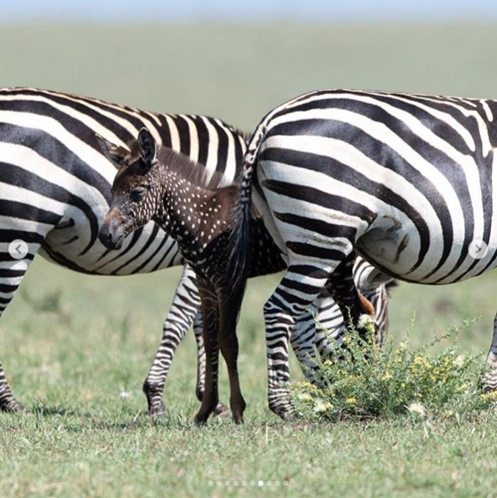 У малыша обычные родители с привычным для зебр окрасом.