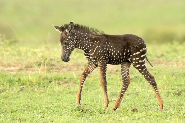 Жеребенок зебры.