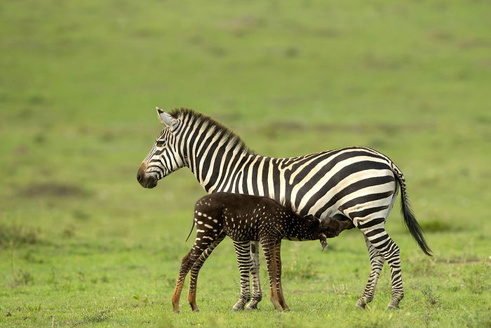 Необычный жеребенок в Кении.